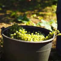 The Prosecco Valdobbiadene DOCG harvest opens with optimistic predictions