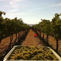 Miolo winery grape harvest 2018: the best of the decade