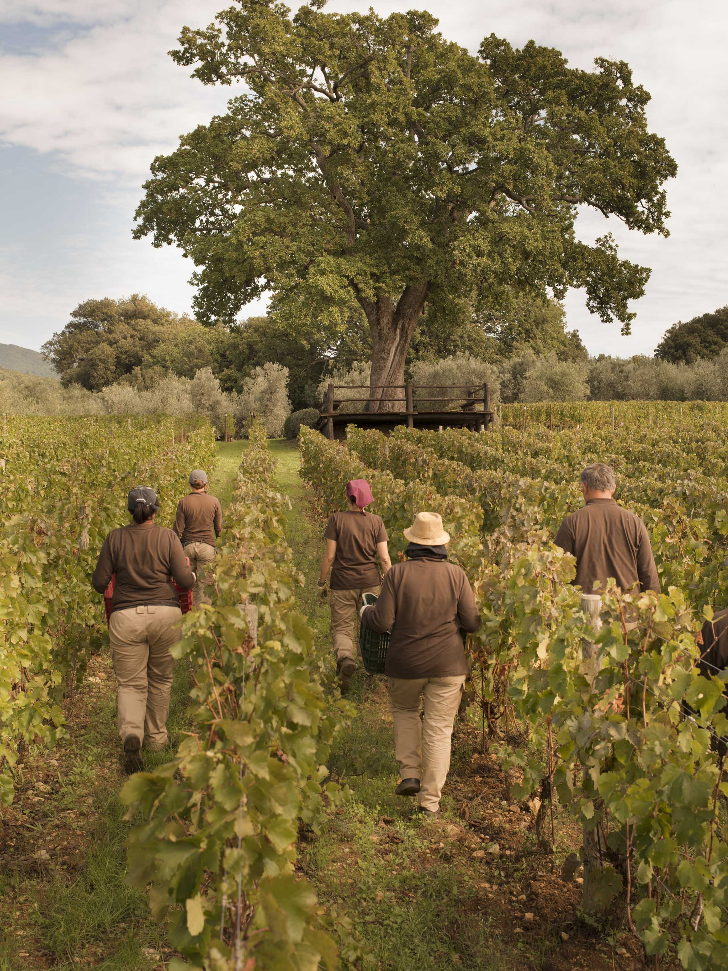 Mother nature waits for no-one:  the promising 2020 harvest at Ornellaia is underway