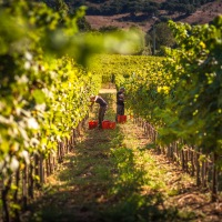 2020 Harvest underway. How are Italy's most representative varieties faring?