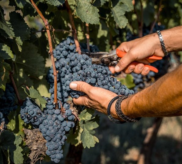 2020 Harvest in Trecciano